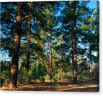 Ponderosa Pine Tree Forest, Kaibab Canvas Print by Panoramic Images