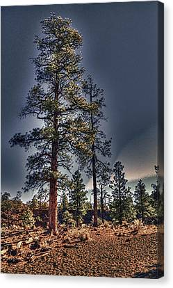 Ponderosa Pines At The Bonito Lava Flow Canvas Print