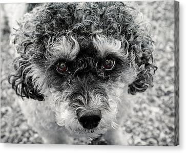 Poodle Eyes Canvas Print