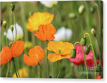 Canvas Print featuring the photograph  Poppies 1 by Werner Padarin