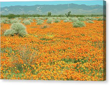 Canvas Print featuring the photograph Poppies For Ever - Poppy Fields Mohave Desert California by Ram Vasudev