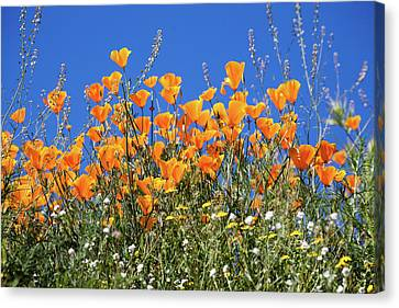 Canvas Print featuring the photograph Poppies From Below by Cliff Wassmann