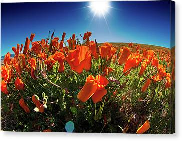 Canvas Print featuring the photograph Poppies by Harry Spitz