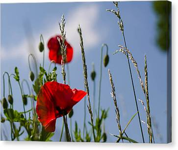Poppies In The Skies Canvas Print