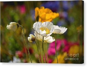 Poppies In The Spring Canvas Print by Deb Halloran
