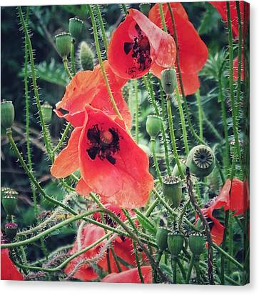 Canvas Print featuring the photograph Poppies by Karen Stahlros