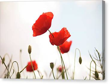 Poppies Canvas Print by Olivia Bell Photography