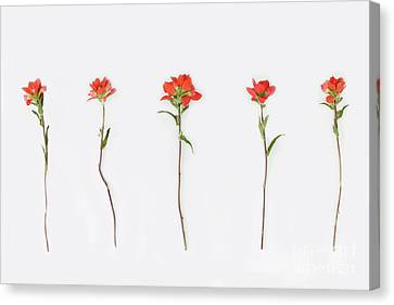 Poppy Blossoms Canvas Print by Brittany Bevis