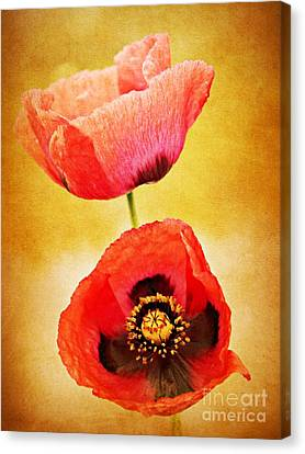 Poppy Duo Canvas Print by Clare Bevan