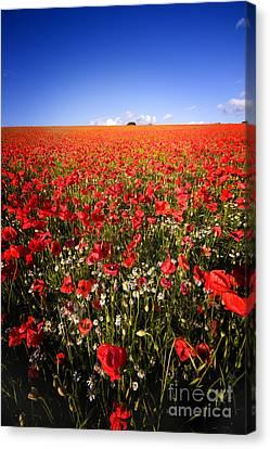 Poppy Field Canvas Print by Meirion Matthias