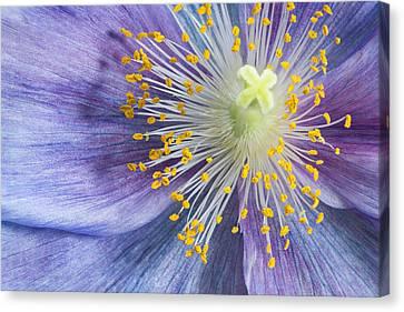 Poppy Fireworks Canvas Print