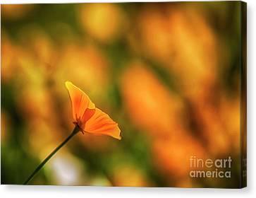 California Poppies Canvas Print - Poppy Glow by Veikko Suikkanen
