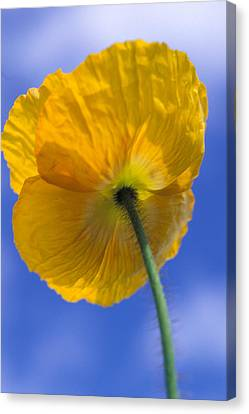 Poppy In The Sky Canvas Print by Kathy Yates