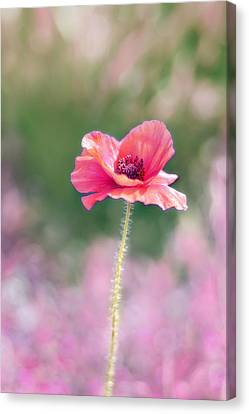 Poppy Love Canvas Print by Amy Tyler