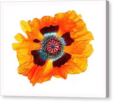 Poppy Pleasing Canvas Print