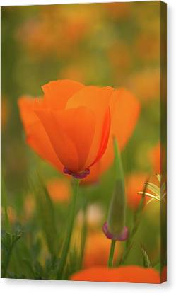 Canvas Print featuring the photograph Poppy by Roger Mullenhour