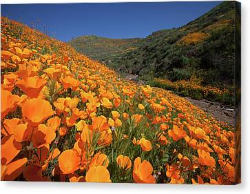 Canvas Print featuring the photograph Poppy Superbloom by Cliff Wassmann