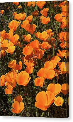 Canvas Print featuring the photograph Poppy Superbloom Close Up by Cliff Wassmann