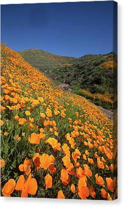 Canvas Print featuring the photograph Poppy Superbloom Vertical by Cliff Wassmann