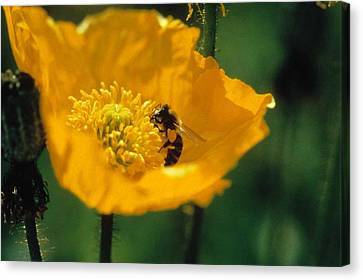 Poppy With Bee Friend Canvas Print by Laurie Paci