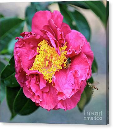 Popular Pink Camellia Square Canvas Print by Carol Groenen