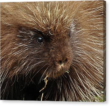 Canvas Print featuring the photograph Porcupine by Glenn Gordon