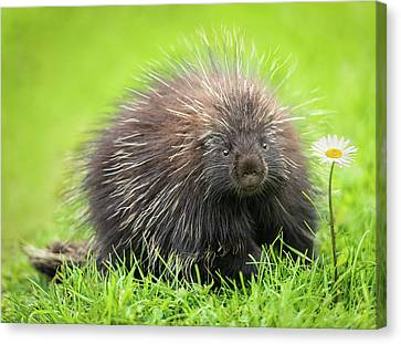 Tracy Munson Canvas Print - Porcupine by Tracy Munson
