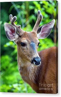Mule Deer Buck Canvas Print - Portrait In Velvet by Mike Dawson
