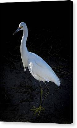 Great Blue Heron Canvas Print - Portrait In White by Marvin Spates