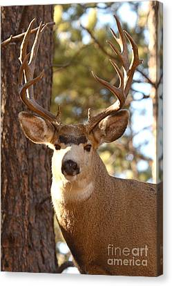 Portrait Of A 15-point Buck Canvas Print by Max Allen