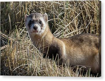 Portrait Of A Black-footed Ferret Canvas Print by Tony Hake