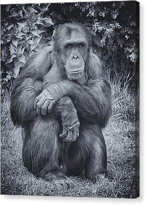 Canvas Print featuring the photograph Portrait Of A Chimp by Chris Boulton