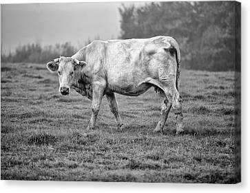 Portrait Of A Cow Canvas Print by Nailia Schwarz
