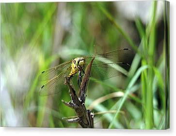 Portrait Of A Dragonfly Canvas Print