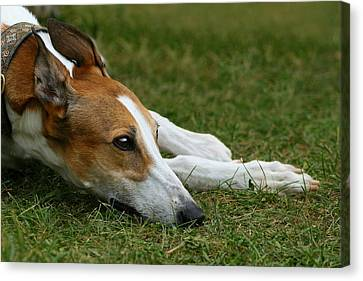 Canvas Print featuring the photograph Portrait Of A Greyhound - Soulful by Angela Rath