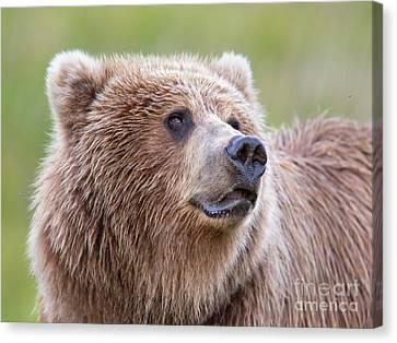 Portrait Of A Grizzly Canvas Print