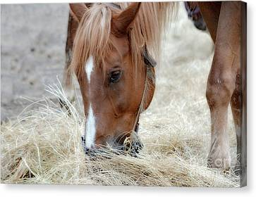 Portrait Of A Horse Canvas Print by Brenda Bostic