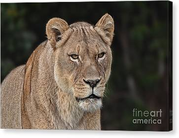Portrait Of A Lioness II Canvas Print by Jim Fitzpatrick