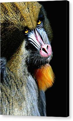 Mandrill Canvas Print - Portrait Of A Mandrill by Diana Angstadt