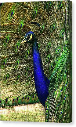 Canvas Print featuring the photograph Portrait Of A Peacock by Jessica Brawley