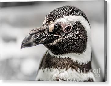 Portrait Of A Penguin Canvas Print