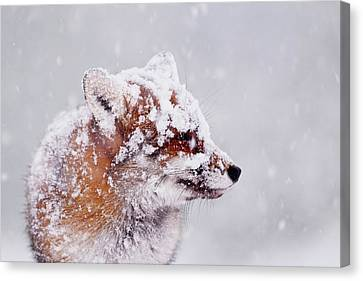 Portrait Of A Red Fox In A Blizzard Canvas Print by Roeselien Raimond