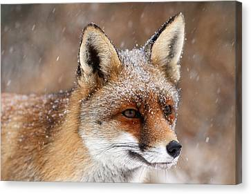 Portrait Of A Red Fox In A Snow Storm Canvas Print by Roeselien Raimond