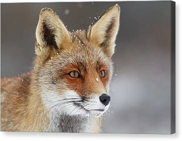Portrait Of A Red Fox In The Snow Canvas Print by Roeselien Raimond