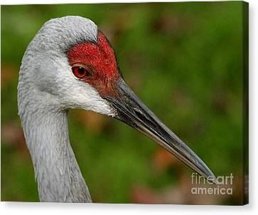 Portrait Of A Sandhill Crane Canvas Print