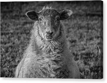 Portrait Of A Sheep Canvas Print by Chris Fletcher
