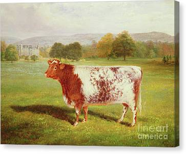Portrait Of A Shorthorn Canvas Print by William Joseph Shayer