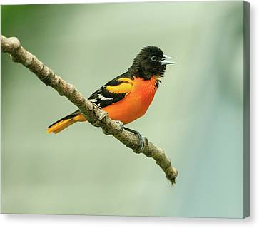 Portrait Of A Singing Baltimore Oriole Canvas Print