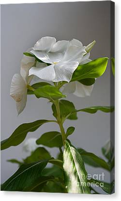 Portrait Of A Vinca Canvas Print