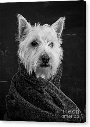 Canvas Print featuring the photograph Portrait Of A Westie Dog 8x10 Ratio by Edward Fielding